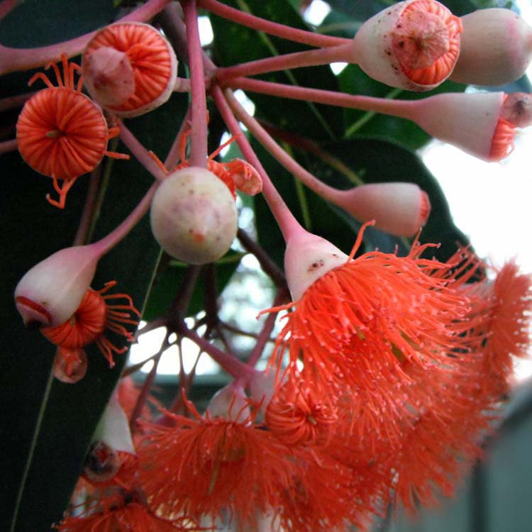 gum tree flowers